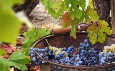 Harvest in Bordeaux – Bringing in the grapes