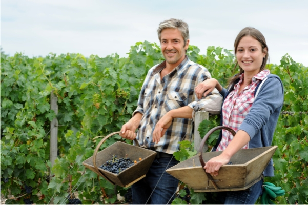 Bringing in the grapes during the harvest in Bordeaux